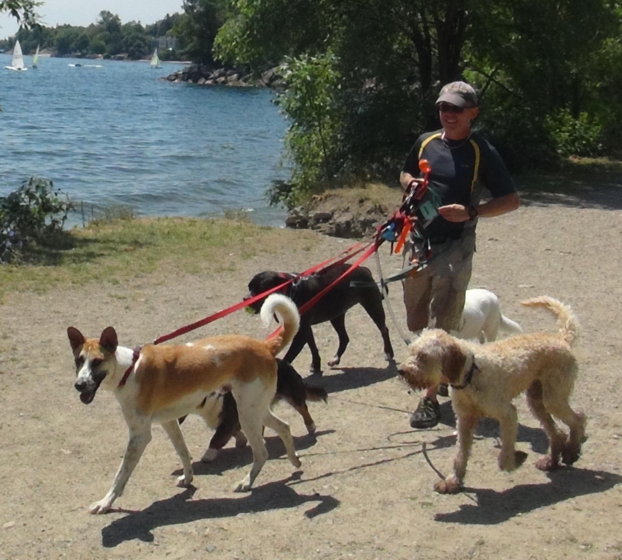 Dog-Walking-By-Lake-Ontario-Cropped-Man-With-Five-Dogs-On-Leashes.JPG