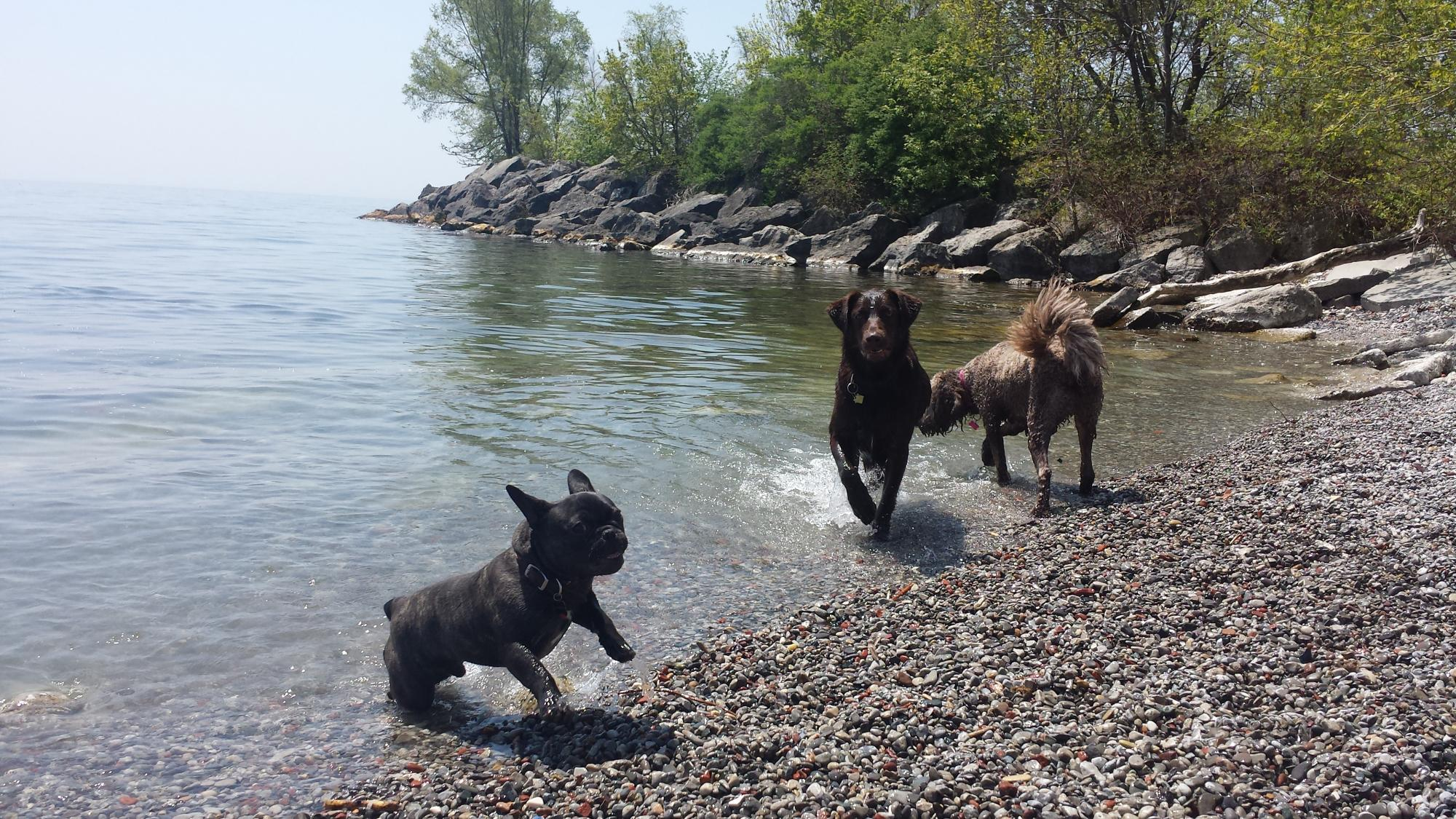 French-bulldog-playing-Mimico-Humber-West-off-leash-dog-park.jpg