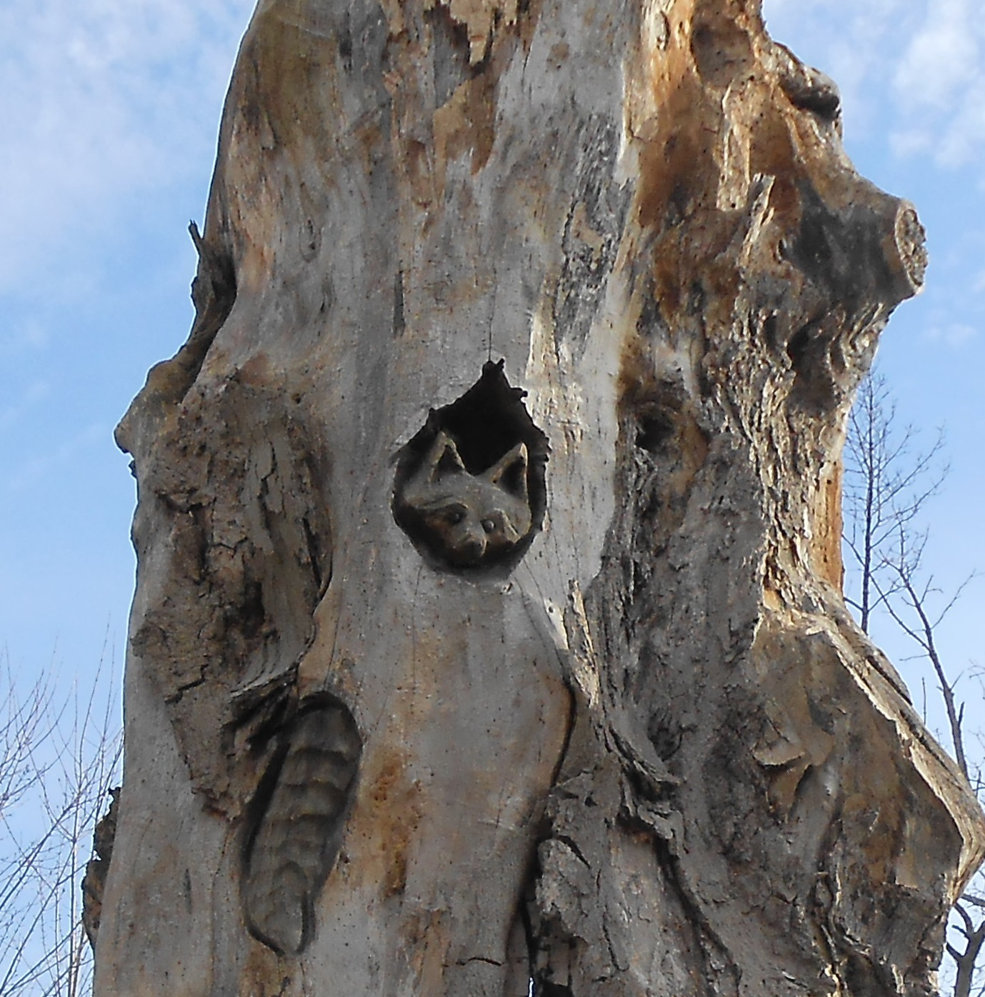 raccoon_in_tree.jpg