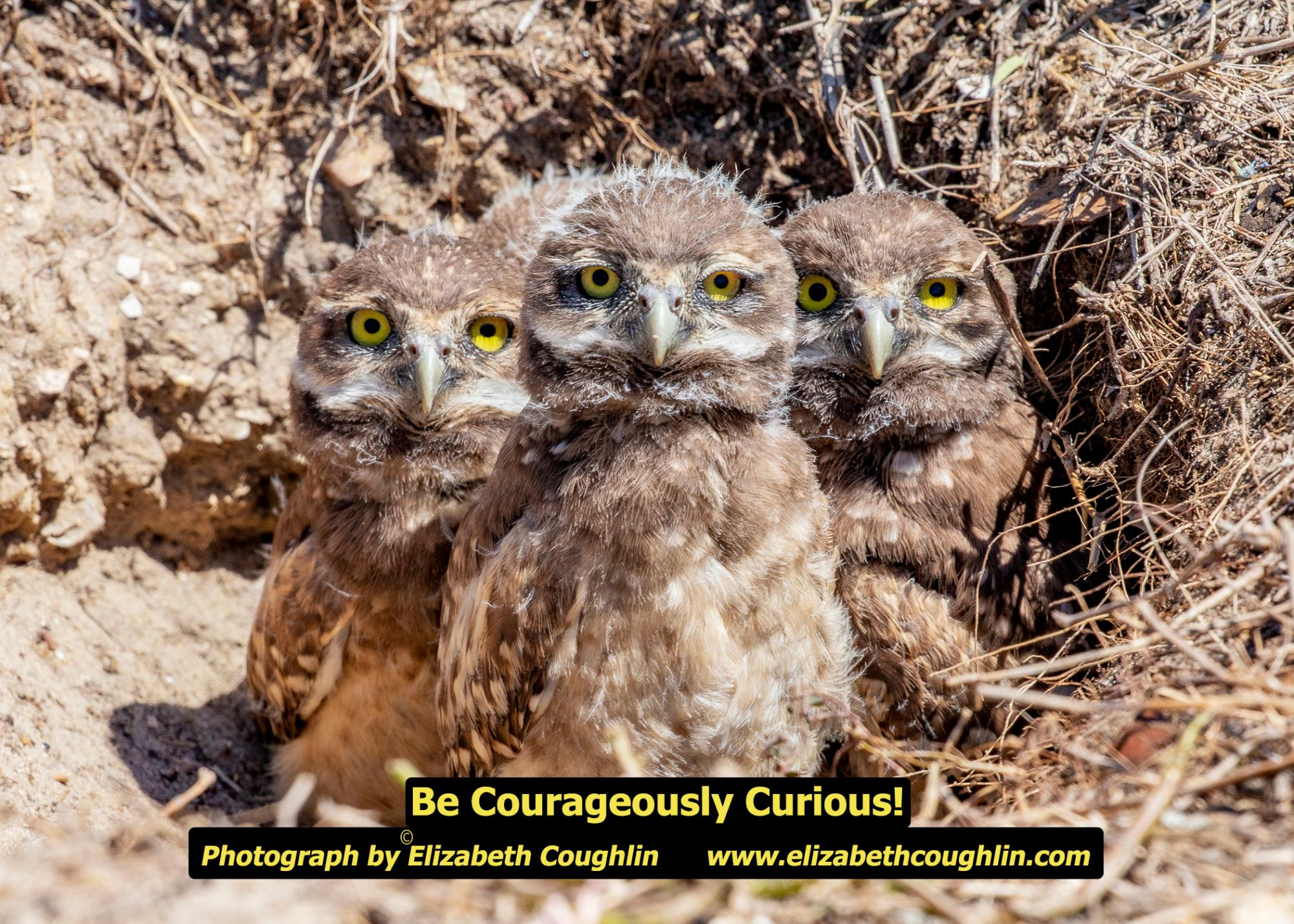 OWL_Burrowing_CourageouslyCu19435.jpg