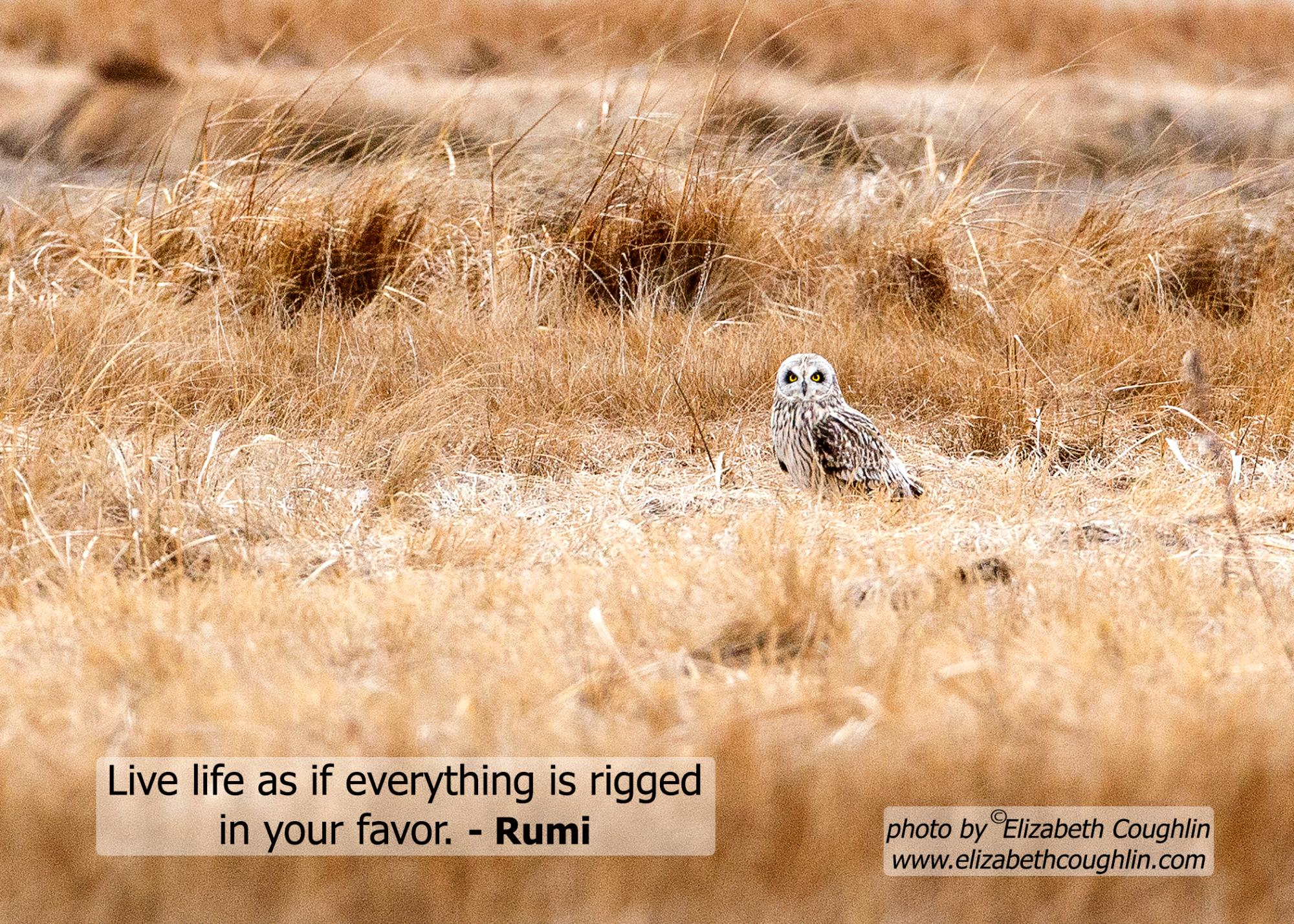 Owl_Short-eared_LiveLife.jpg