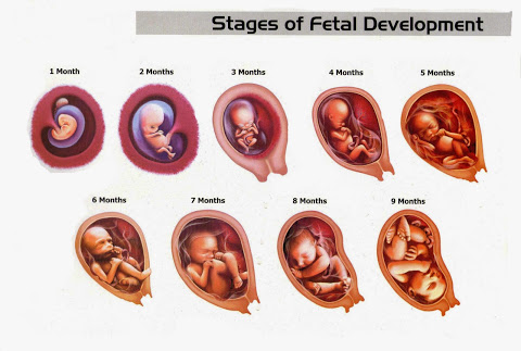Stages-of-fetal-development.jpg