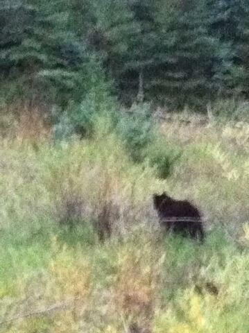 Black bear on the road to the house