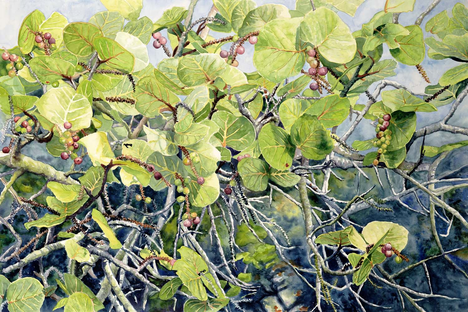 Sea Grape Study