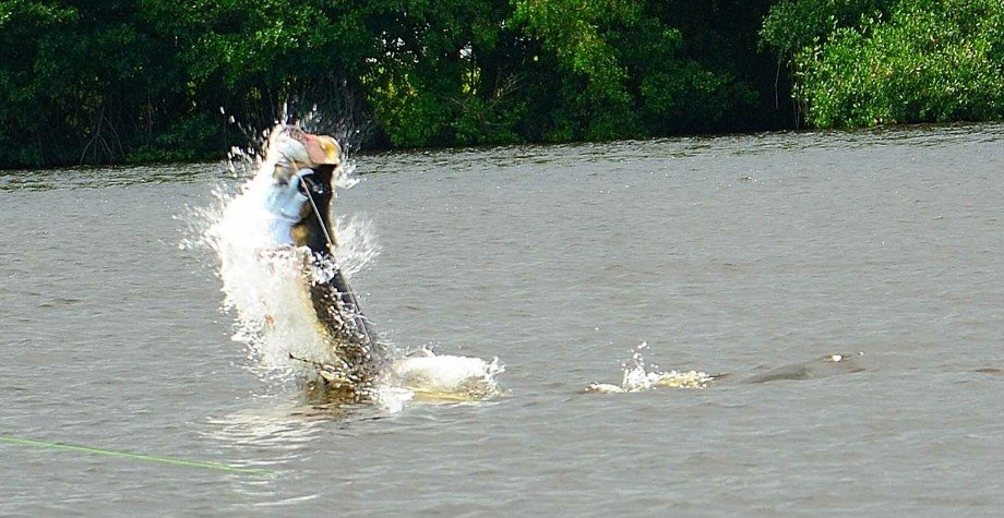 BIG TARPON HOOKED ON THE FLY