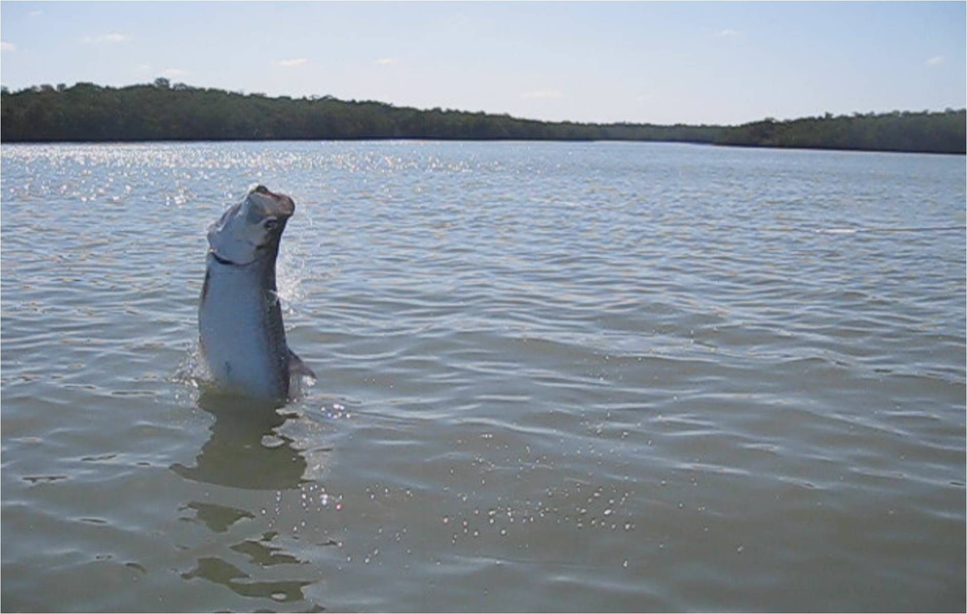 Tarpon-Battle-1.jpg