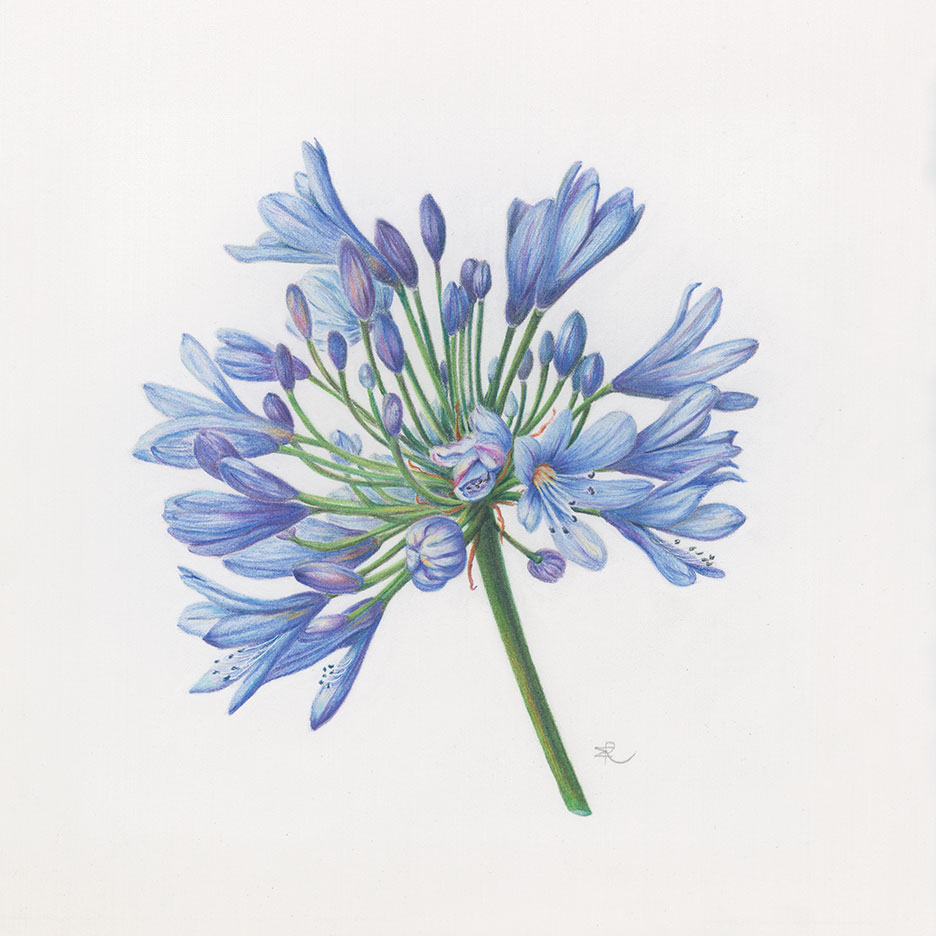 Lily of the Nile (Agapanthus africanus) / Colored pencil on paper