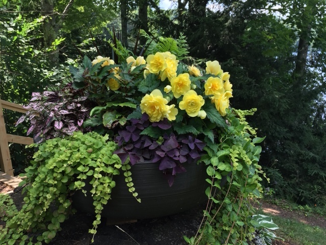 begonias in planting bowl