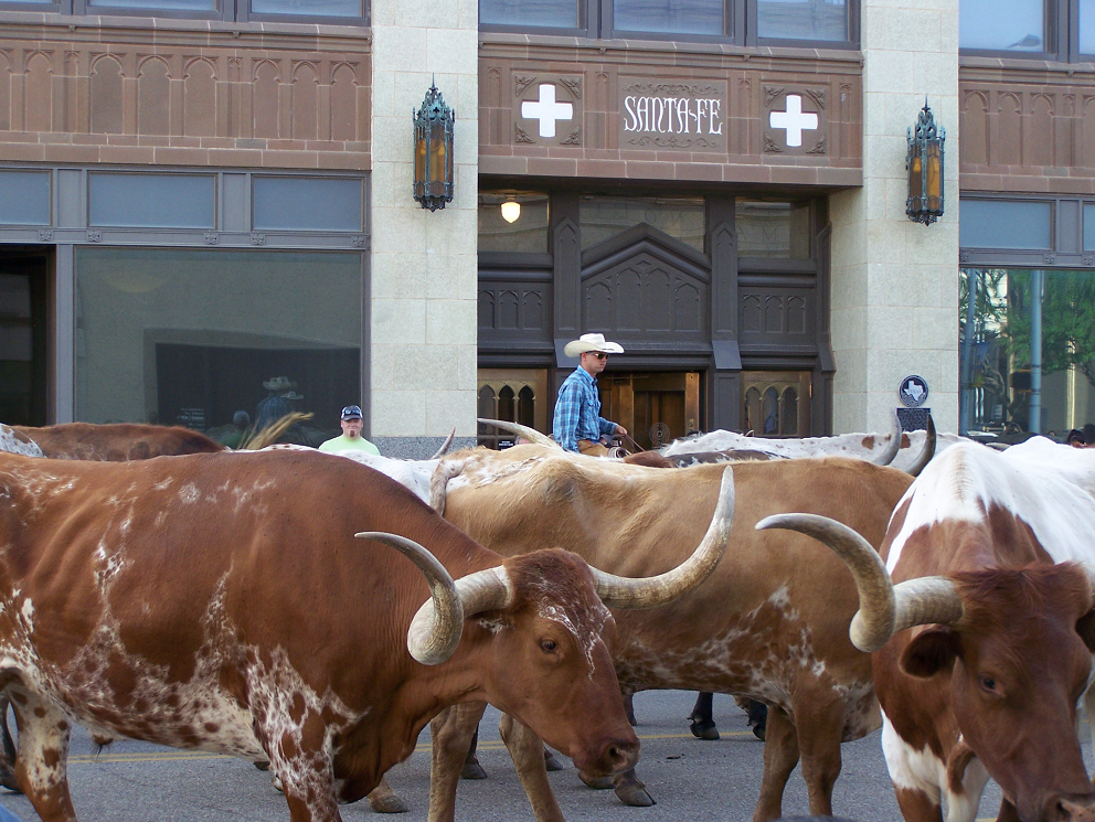 Cattle Drive in Amarillo