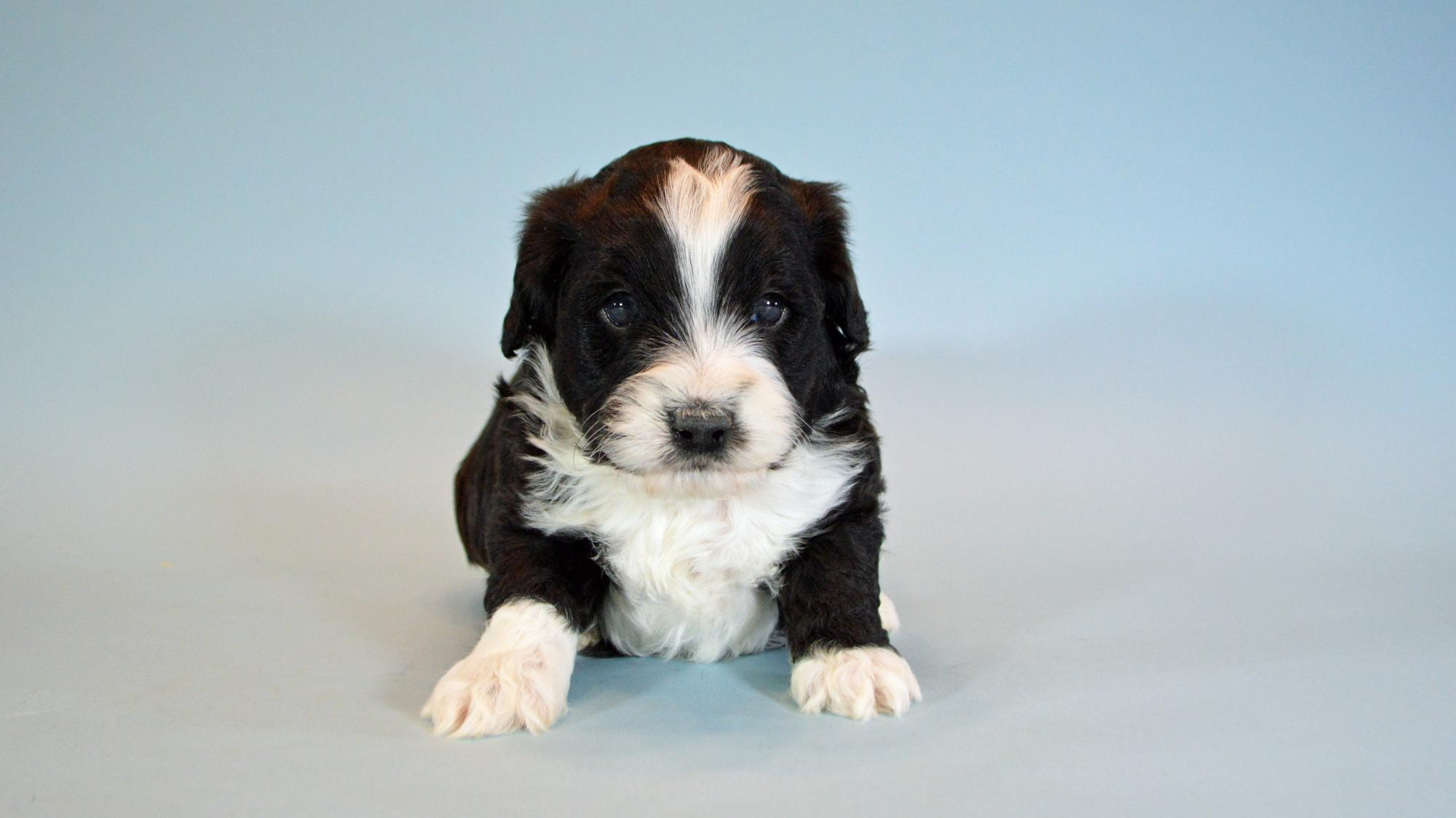 Chief_-Male_Miniature_Aussiedoodle_1.jpg