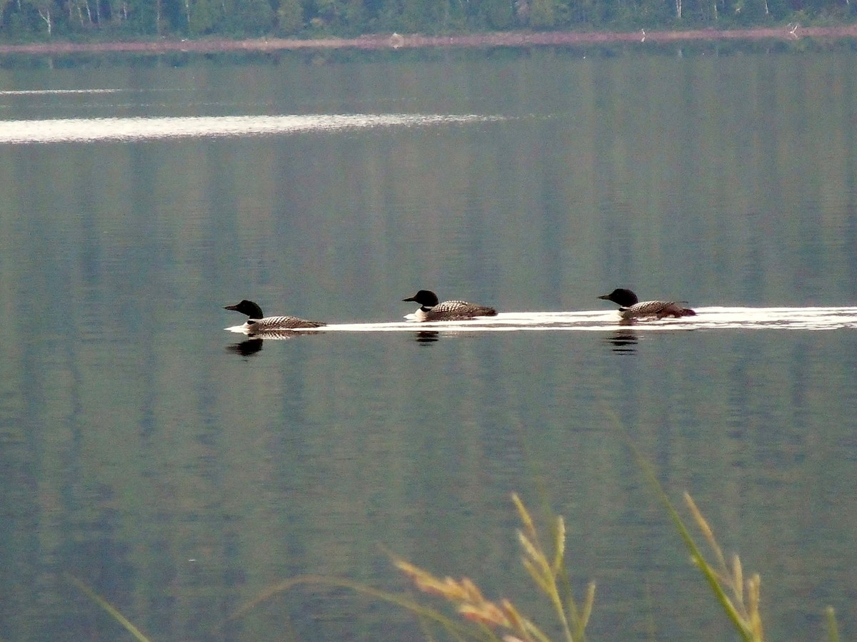 LOONS IN MAINE
