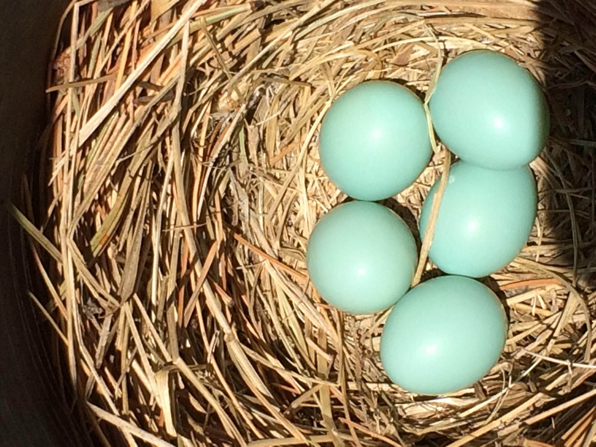 Bluebird eggs in nest.
