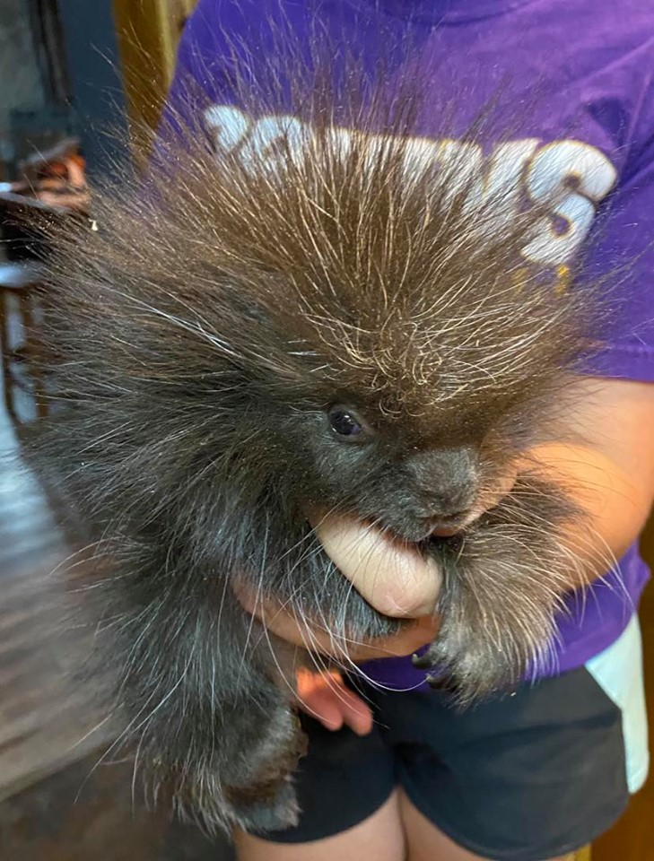 North_American_Porcupine_Bottle_Baby.jpg