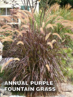 Grass-Pad-Annual-Purple-Fountain-Grass-1.jpg