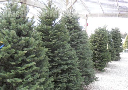 Grass-Pad-Christmas-Trees-9.1.jpg