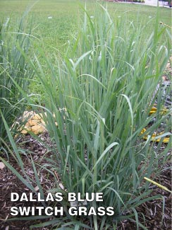 Grass-Pad-Dallas-Blue-Switch-Grass-1.jpg