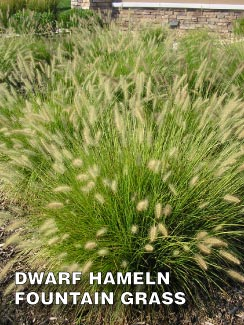 Grass-Pad-Dwarf-Hameln-Fountain-Grass-2.jpg