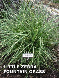 Grass-Pad-Dwarf-Little-Zebra-Fountain-Grass-1.jpg