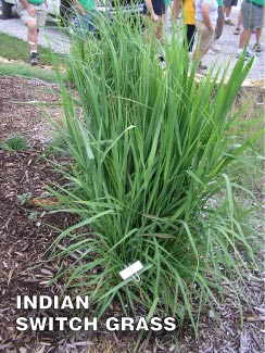 Grass-Pad-Indian-Switch-Grass-1.jpg