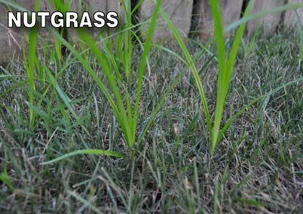 Grass-Pad-Nut-Grass-Sedge-3.jpg