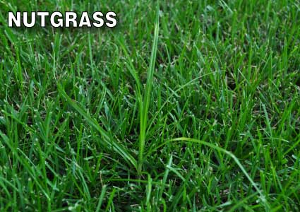 Grass-Pad-Nut-Grass-Sedge-5.jpg