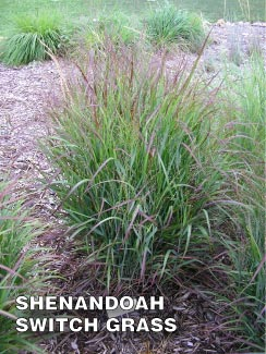 Grass-Pad-Shenandoah-Switch-Grass-1.jpg