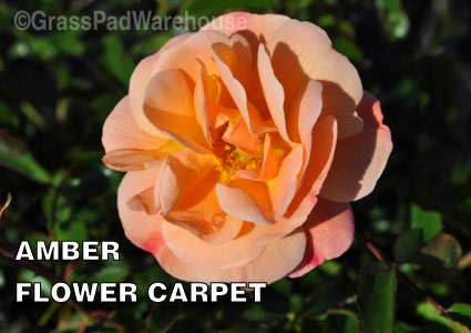 Grass-Pad-Shrub-Rose-Amber-Flower-Carpet-Rose-1.jpg