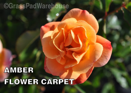 Grass-Pad-Shrub-Rose-Amber-Flower-Carpet-Rose-2.jpg
