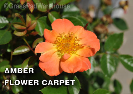 Grass-Pad-Shrub-Rose-Amber-Flower-Carpet-Rose-3.jpg