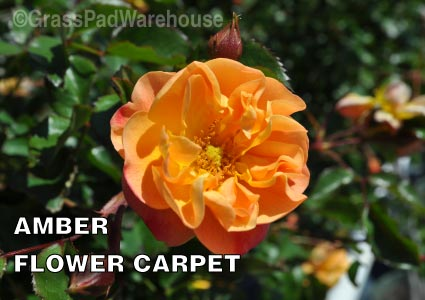 Grass-Pad-Shrub-Rose-Amber-Flower-Carpet-Rose-4.jpg