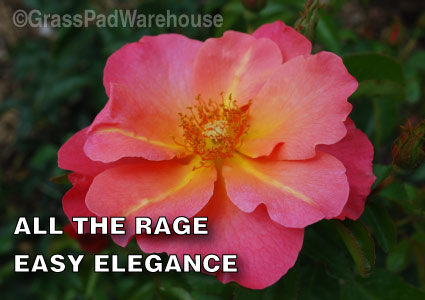 Grass-Pad-Shrub-Rose-Easy-Elegance-All-the-Rage-2.jpg