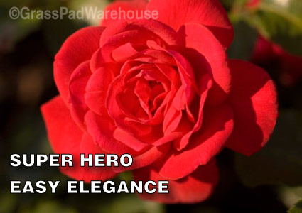 Grass-Pad-Shrub-Rose-Easy-Elegance-Super-Hero.jpg
