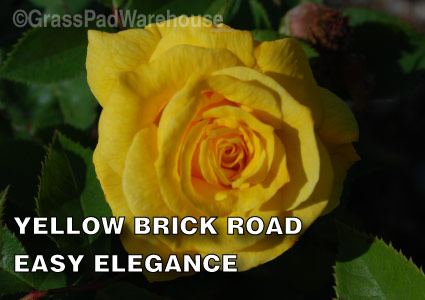 Grass-Pad-Shrub-Rose-Easy-Elegance-Yellow-Brick-Road-1.jpg