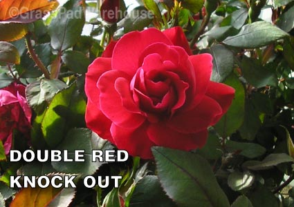 Grass-Pad-Shrub-Rose-Knock-Out-Double-Red-2.jpg