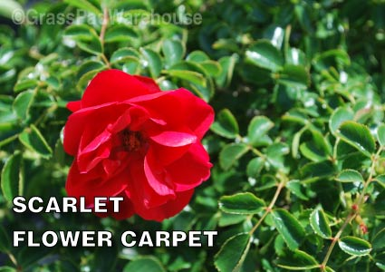 Grass-Pad-Shrub-Rose-Scarlet-Flower-Carpet-1.jpg