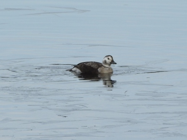 long_tailed_duck.JPG