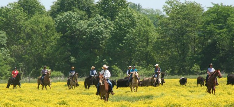 Group Driving Cattle