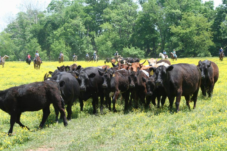 Cattle Drive at Andora Farm