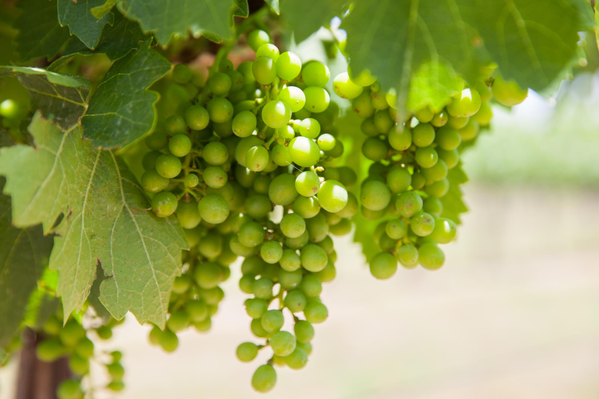Spring_Grapes_1_-_Peary_Photog80737.jpg