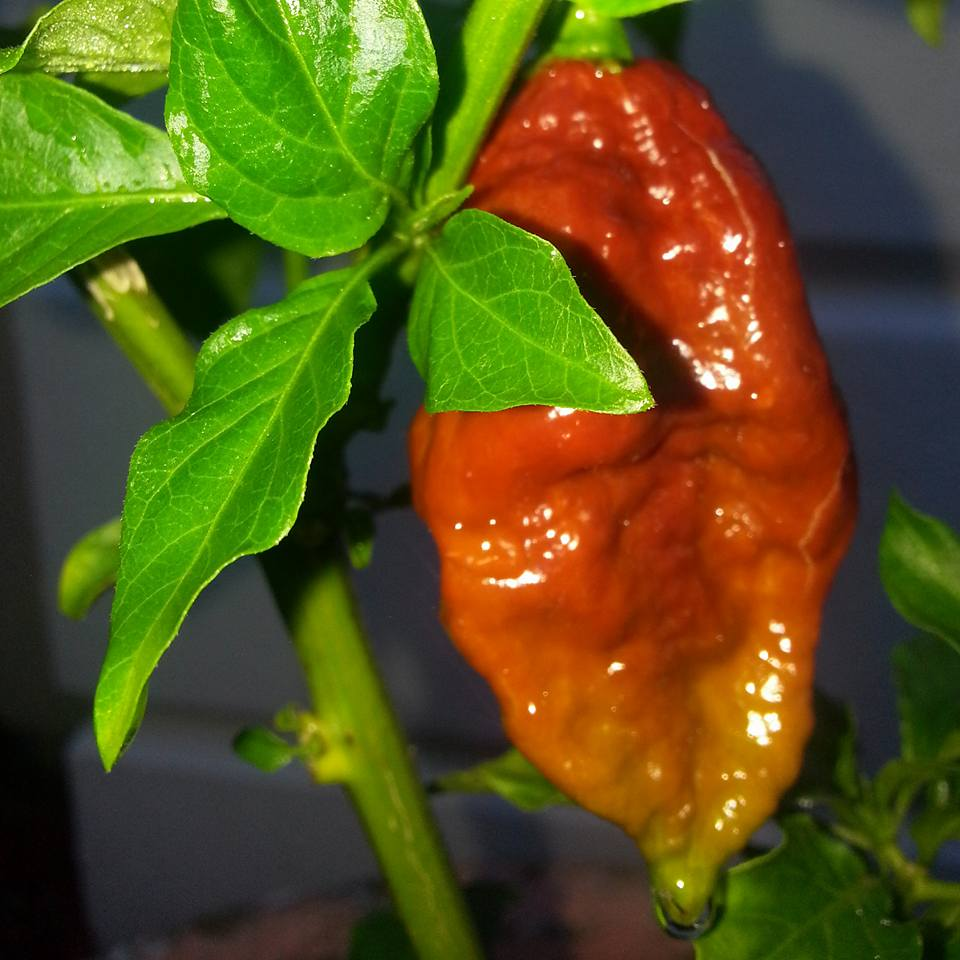 chocolate ghost pepper plants