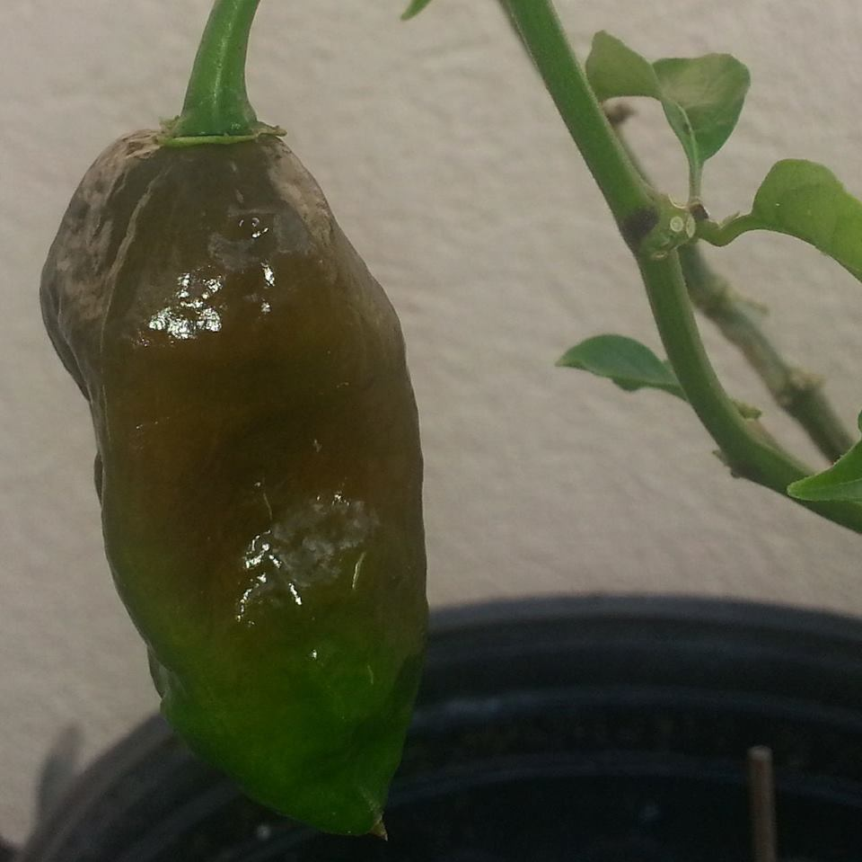 chocolate ghost pepper