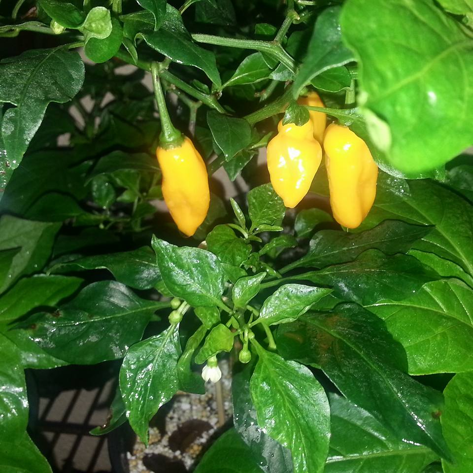 buy ghost peppers in Wellington