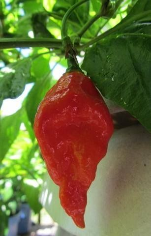ghost pepper plants