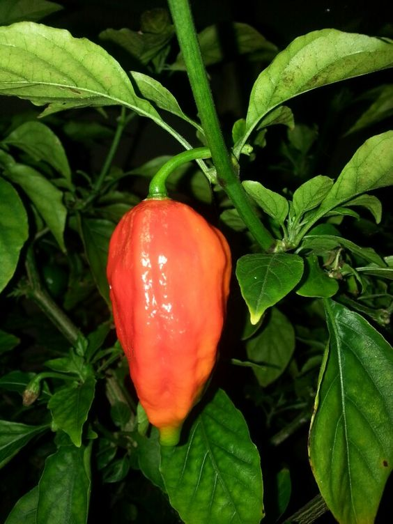 ghost peppers in Florida