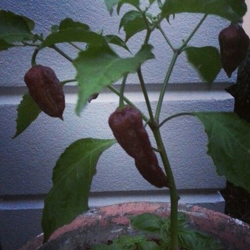 fresh chocolate ghost peppers