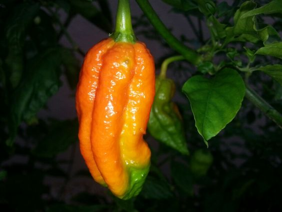 fresh ghost pepper