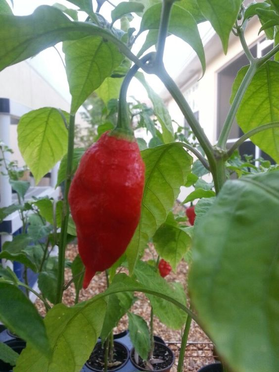 buy ghost pepper plants