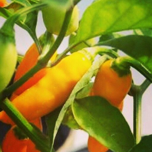 fresh datil peppers