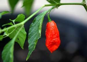 red ghost pepper