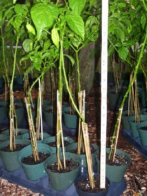 ghost pepper plants for sale